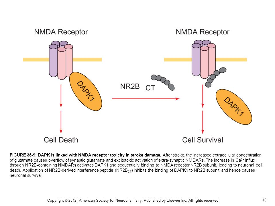 FIGURE 35-9: DAPK is linked with NMDA receptor toxicity in stroke damage. After stroke, the increased extracellular concentration of glutamate causes overflow of synaptic glutamate and excitotoxic activation of extra-synaptic NMDARs. The increase in Ca2+ influx through NR2B-containing NMDARs activates DAPK1 and sequentially binding to NMDA receptor NR2B subunit, leading to neuronal cell death. Application of NR2B-derived interference peptide (NR2BCT) inhibits the binding of DAPK1 to NR2B subunit and hence causes neuronal survival.
