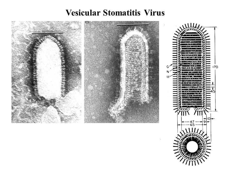Vesicular Stomatitis Virus