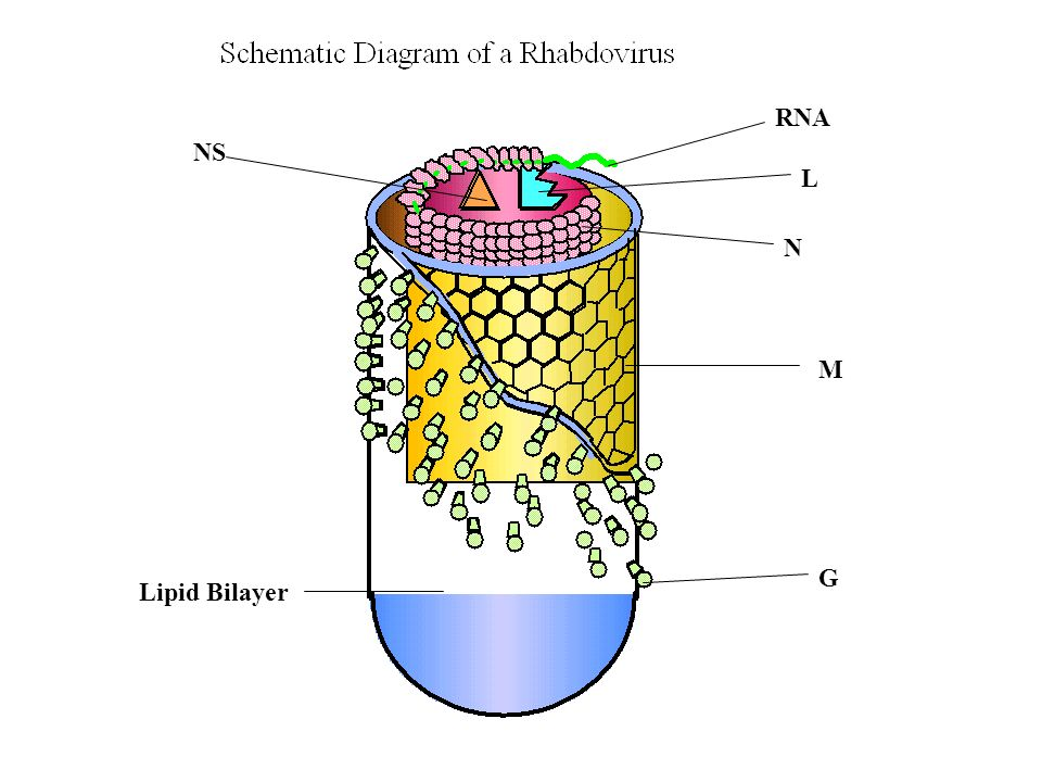 RNA NS L N M G Lipid Bilayer