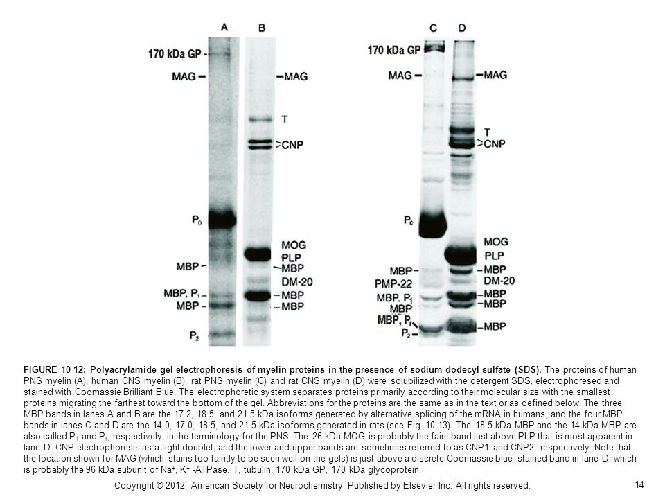 FIGURE 10-12: Polyacrylamide gel electrophoresis of myelin proteins in the presence of sodium dodecyl sulfate (SDS). The proteins of human PNS myelin (A), human CNS myelin (B), rat PNS myelin (C) and rat CNS myelin (D) were solubilized with the detergent SDS, electrophoresed and stained with Coomassie Brilliant Blue. The electrophoretic system separates proteins primarily according to their molecular size with the smallest proteins migrating the farthest toward the bottom of the gel. Abbreviations for the proteins are the same as in the text or as defined below. The three MBP bands in lanes A and B are the 17.2, 18.5, and 21.5 kDa isoforms generated by alternative splicing of the mRNA in humans, and the four MBP bands in lanes C and D are the 14.0, 17.0, 18.5, and 21.5 kDa isoforms generated in rats (see Fig. 10-13). The 18.5 kDa MBP and the 14 kDa MBP are also called P1 and Pr, respectively, in the terminology for the PNS. The 26 kDa MOG is probably the faint band just above PLP that is most apparent in lane D. CNP electrophoresis as a tight doublet, and the lower and upper bands are sometimes referred to as CNP1 and CNP2, respectively. Note that the location shown for MAG (which stains too faintly to be seen well on the gels) is just above a discrete Coomassie blue–stained band in lane D, which is probably the 96 kDa subunit of Na+, K+ -ATPase. T, tubulin. 170 kDa GP, 170 kDa glycoprotein.