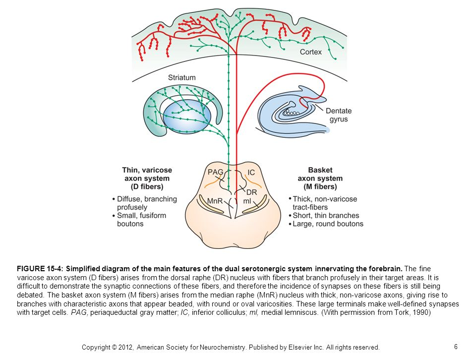FIGURE 15-4: Simplified diagram of the main features of the dual serotonergic system innervating the forebrain. The fine varicose axon system (D fibers) arises from the dorsal raphe (DR) nucleus with fibers that branch profusely in their target areas. It is difficult to demonstrate the synaptic connections of these fibers, and therefore the incidence of synapses on these fibers is still being debated. The basket axon system (M fibers) arises from the median raphe (MnR) nucleus with thick, non-varicose axons, giving rise to branches with characteristic axons that appear beaded, with round or oval varicosities. These large terminals make well-defined synapses with target cells. PAG, periaqueductal gray matter; IC, inferior colliculus; ml, medial lemniscus. (With permission from Tork, 1990)
