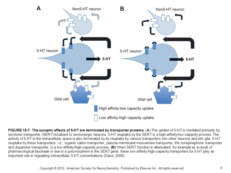 FIGURE 15-7: The synaptic effects of 5-HT are terminated by transporter proteins. (A) The uptake of 5-HT is mediated primarily by serotonin transporter (SERT) localized to serotonergic neurons. 5-HT reuptake by the SERT is a high-affinity/low-capacity process. The activity of 5-HT in the extracellular space is also terminated by its reuptake by various transporters into other neurons and into glia. 5-HT reuptake by these transporters, i.e., organic cation transporter, plasma membrane monoamine transporter, the norepinephrine transporter and dopamine transporter, is a low-affinity/high-capacity process. (B) When SERT function is attenuated, for example as a result of pharmacological blockade or due to a polymorphism in the SERT gene, these low-affinity/high-capacity transporters for 5-HT play an important role in regulating extracellular 5-HT concentrations (Daws, 2009).