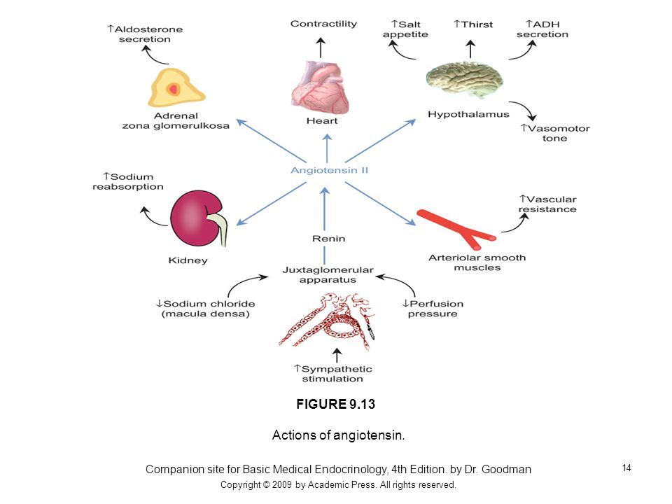 Actions of angiotensin.