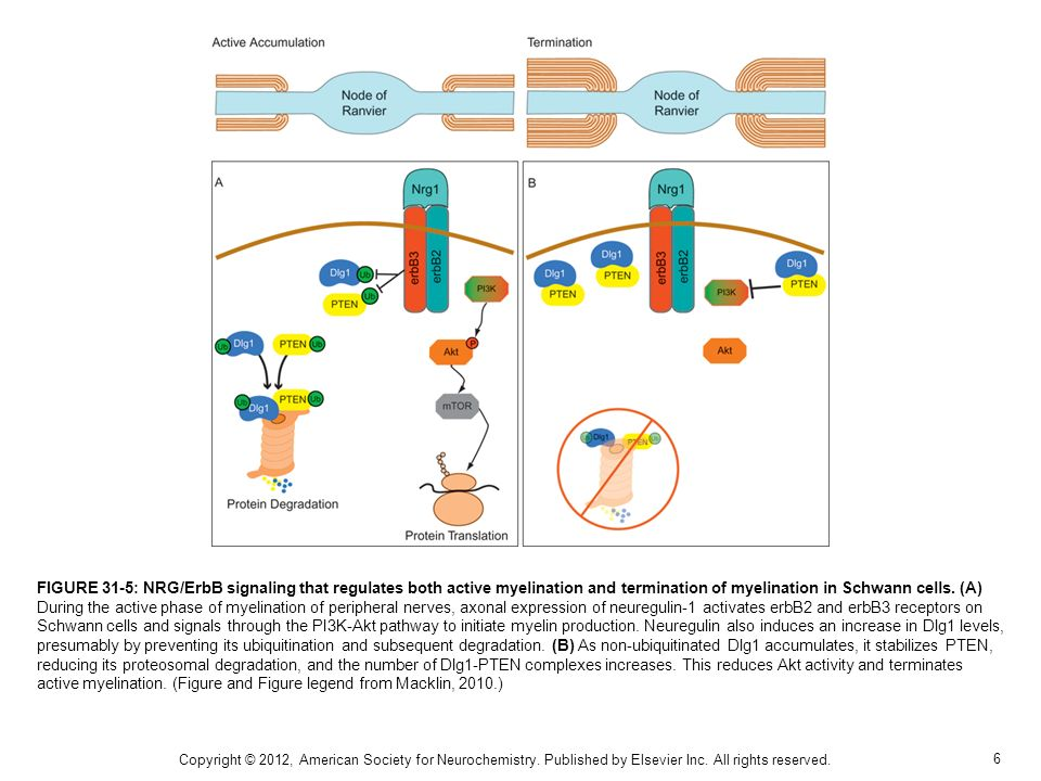 FIGURE 31-5: NRG/ErbB signaling that regulates both active myelination and termination of myelination in Schwann cells. (A) During the active phase of myelination of peripheral nerves, axonal expression of neuregulin-1 activates erbB2 and erbB3 receptors on Schwann cells and signals through the PI3K-Akt pathway to initiate myelin production. Neuregulin also induces an increase in Dlg1 levels, presumably by preventing its ubiquitination and subsequent degradation. (B) As non-ubiquitinated Dlg1 accumulates, it stabilizes PTEN, reducing its proteosomal degradation, and the number of Dlg1-PTEN complexes increases. This reduces Akt activity and terminates active myelination. (Figure and Figure legend from Macklin, 2010.)