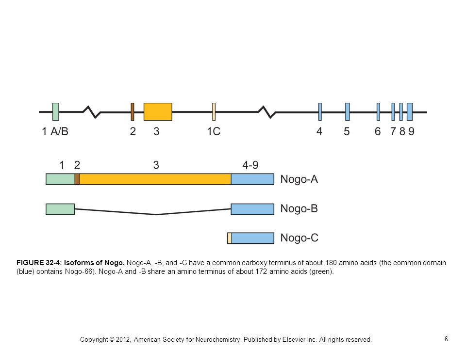 FIGURE 32-4: Isoforms of Nogo