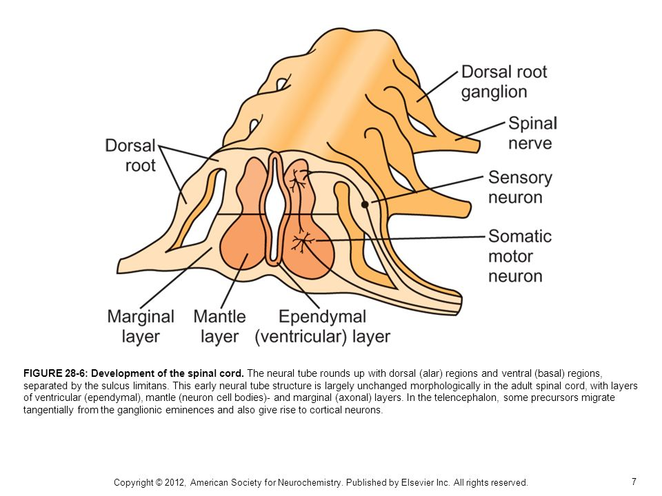 FIGURE 28-6: Development of the spinal cord