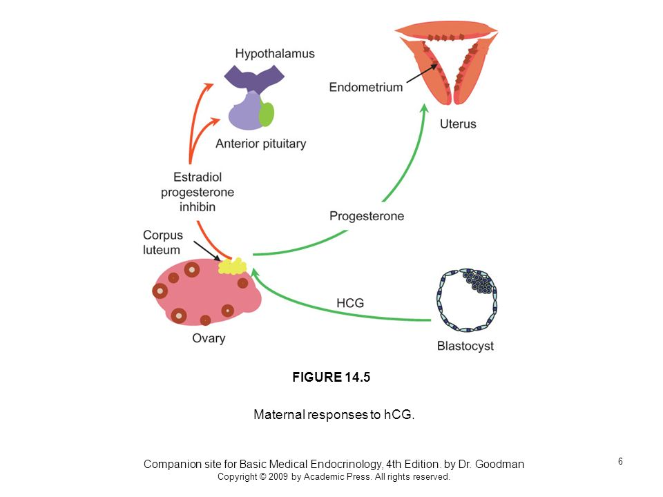Maternal responses to hCG.