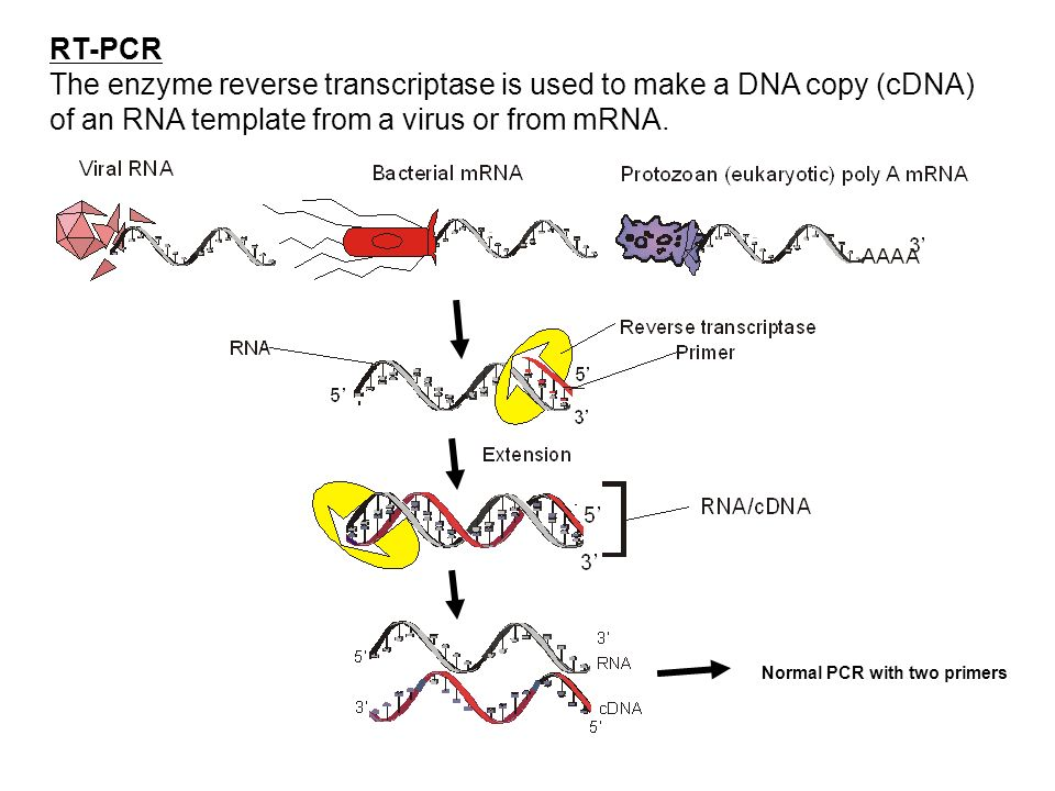 RT-PCR The enzyme reverse transcriptase is used to make a DNA copy (cDNA) of an RNA template from a virus or from mRNA.