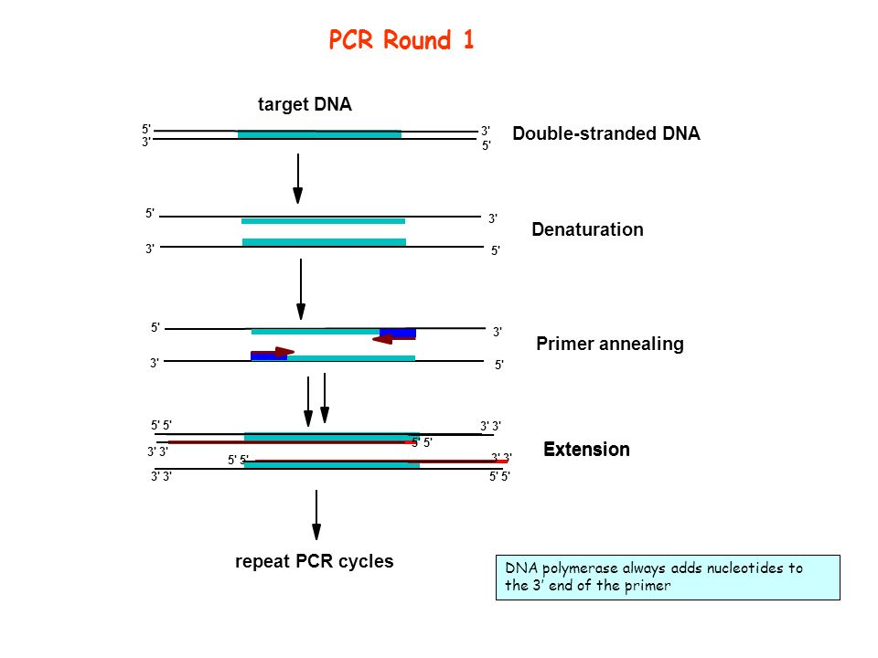 PCR Round 1 target DNA Double-stranded DNA Denaturation