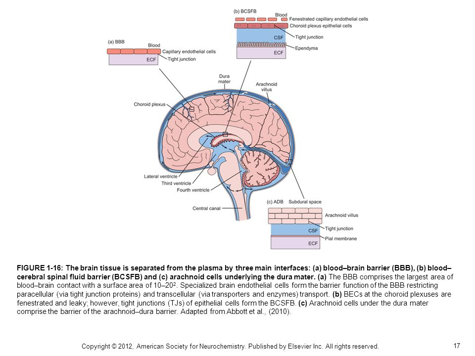 FIGURE 1-16: The brain tissue is separated from the plasma by three main interfaces: (a) blood–brain barrier (BBB), (b) blood–cerebral spinal fluid barrier (BCSFB) and (c) arachnoid cells underlying the dura mater. (a) The BBB comprises the largest area of blood–brain contact with a surface area of 10–202. Specialized brain endothelial cells form the barrier function of the BBB restricting paracellular (via tight junction proteins) and transcellular (via transporters and enzymes) transport. (b) BECs at the choroid plexuses are fenestrated and leaky; however, tight junctions (TJs) of epithelial cells form the BCSFB. (c) Arachnoid cells under the dura mater comprise the barrier of the arachnoid–dura barrier. Adapted from Abbott et al., (2010).