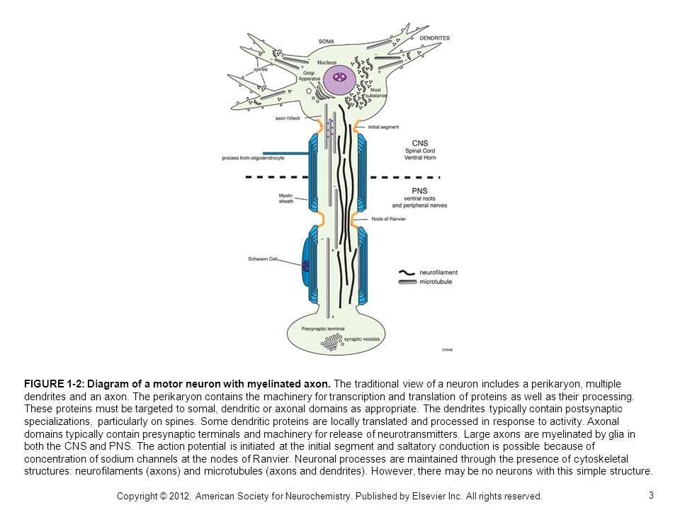 FIGURE 1-2: Diagram of a motor neuron with myelinated axon