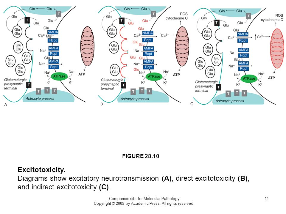 FIGURE 28.10 Excitotoxicity. Diagrams show excitatory neurotransmission (A), direct excitotoxicity (B), and indirect excitotoxicity (C).