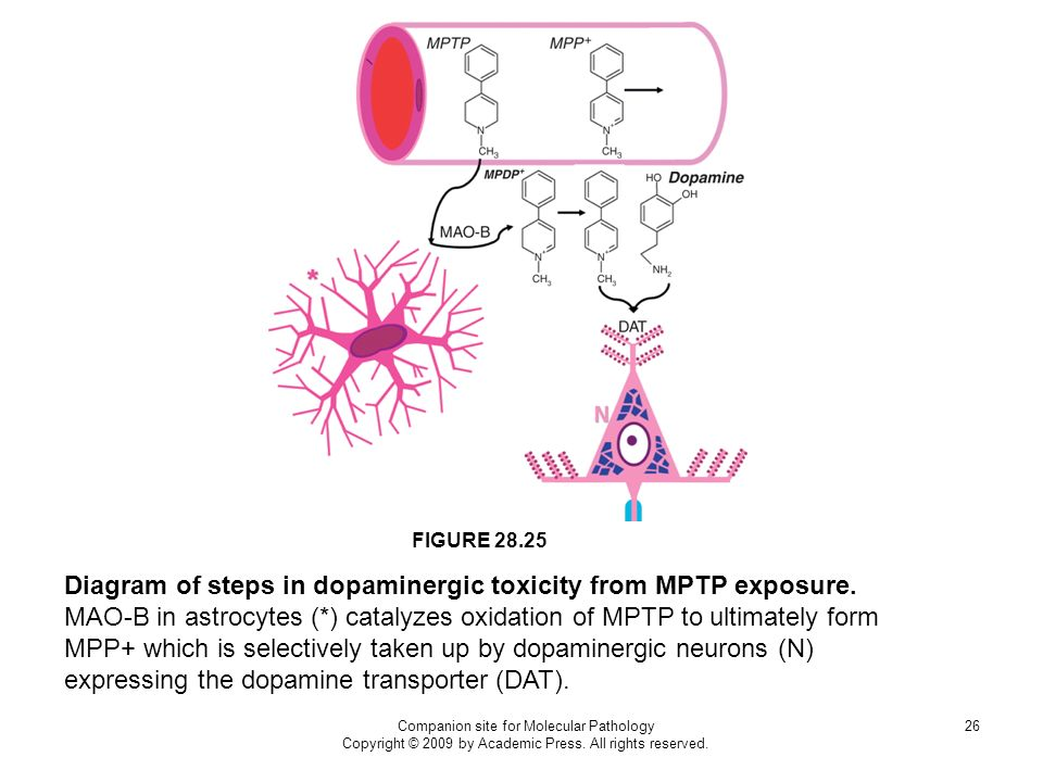 Diagram of steps in dopaminergic toxicity from MPTP exposure.