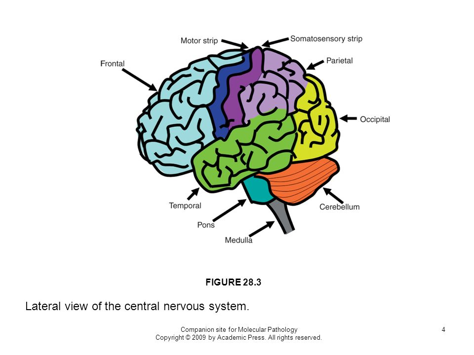 Lateral view of the central nervous system.