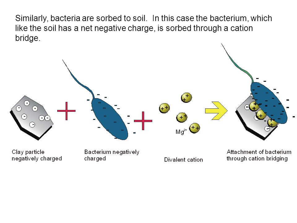 Similarly, bacteria are sorbed to soil
