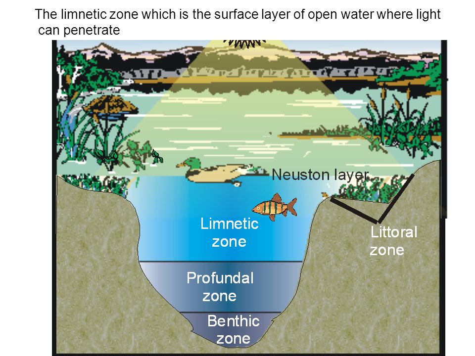 The limnetic zone which is the surface layer of open water where light