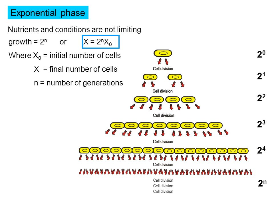 Exponential phase Nutrients and conditions are not limiting. growth = 2n or X = 2nX0. Where X0 = initial number of cells.