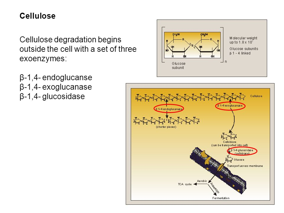 Cellulose Cellulose degradation begins outside the cell with a set of three exoenzymes: β-1,4- endoglucanse.