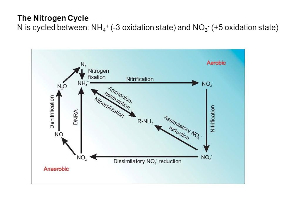 The Nitrogen Cycle N is cycled between: NH4+ (-3 oxidation state) and NO3- (+5 oxidation state)