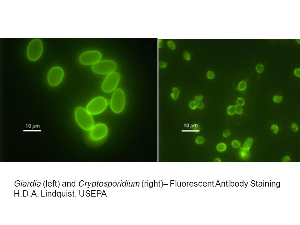 Giardia (left) and Cryptosporidium (right)– Fluorescent Antibody Staining