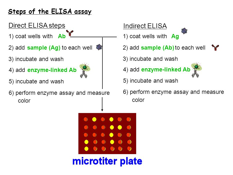 Direct ELISA steps Indirect ELISA Steps of the ELISA assay