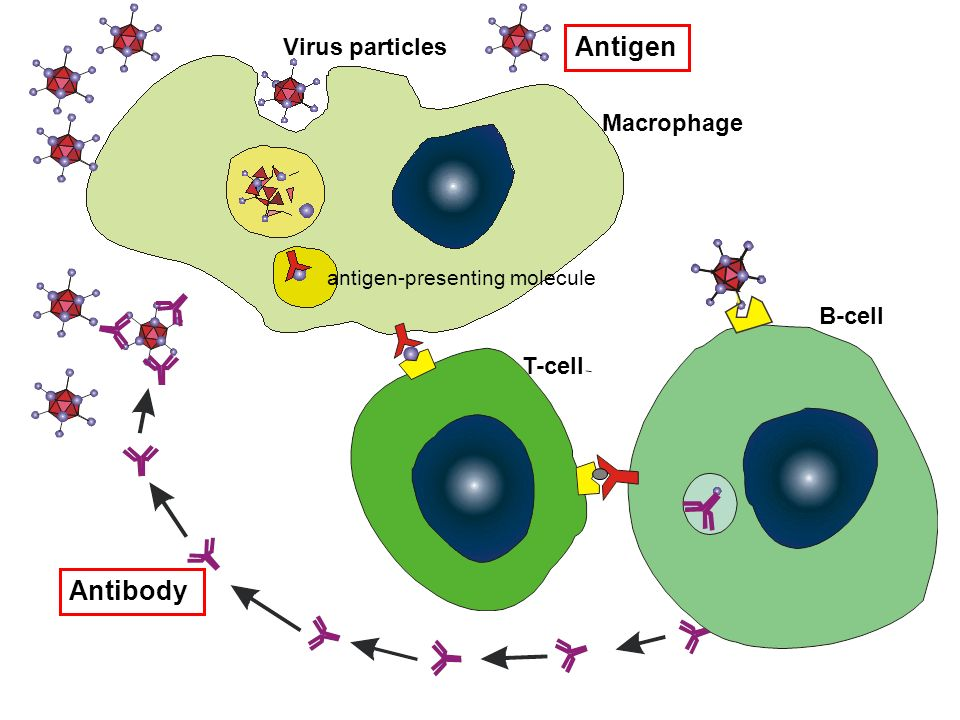 Antigen Antibody Virus particles Macrophage B-cell T-cell