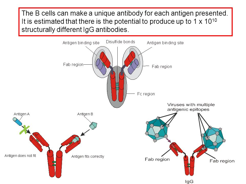 The B cells can make a unique antibody for each antigen presented