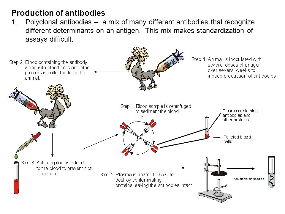 Production of antibodies