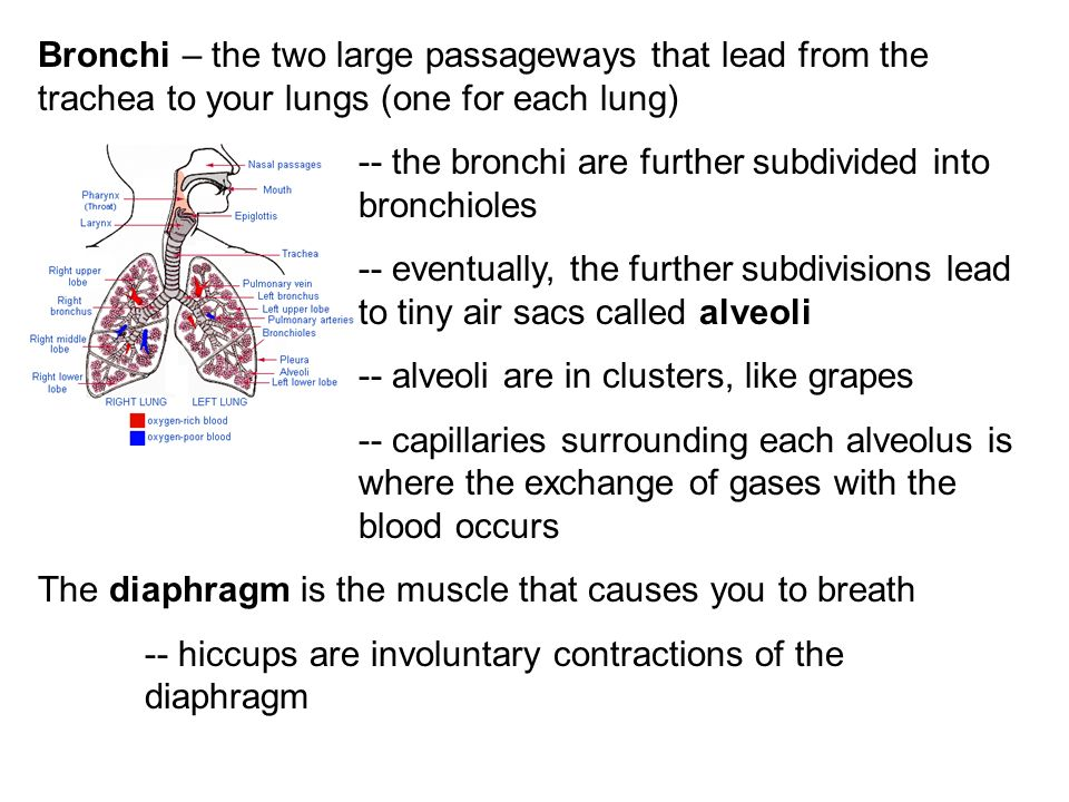 Bronchi – the two large passageways that lead from the trachea to your lungs (one for each lung)