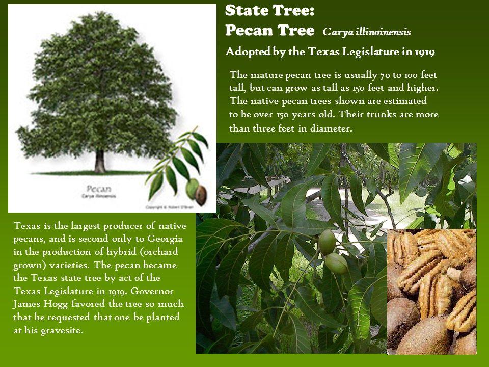 pecan tree carya illinoinensis