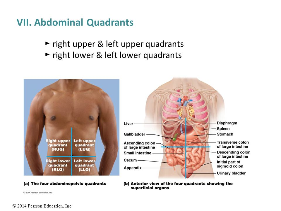 Anatomy Of Abdomen Quadrants 1695085 Follow4morefo