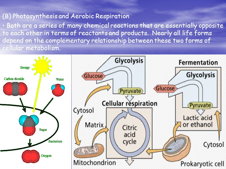 cyanobacteria oxygen and aerobic respiration essay Evolutionary aspects and regulation of tetrapyrrole biosynthesis in cyanobacteria under aerobic and anaerobic environments  in contrast, at night, oxygen is quickly consumed by respiration of heterotrophic bacteria and cyanobacteria, which reduce oxygen levels to near anaerobic levels dioxygen (o 2) serves not only as a terminal electron  coexistence of analogous anaerobic and aerobic enzymes (class ia, the aerobic enzyme is oxygen-dependent class ib, the aerobic enzyme is oxygen.