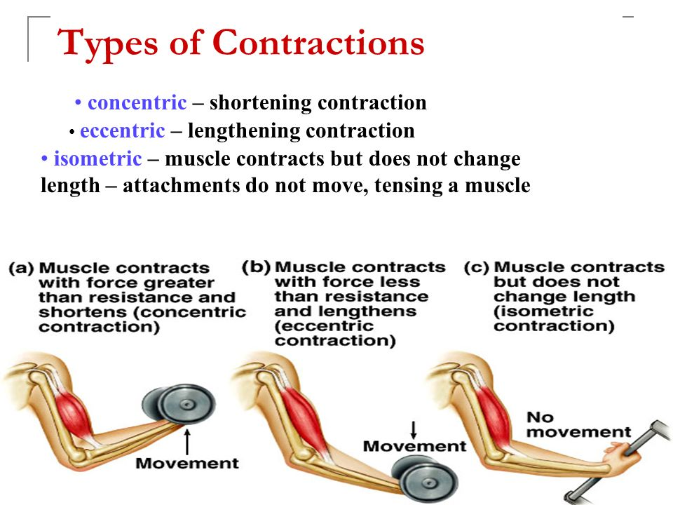 muscle contraction tutorial review Muscle contraction animation,muscle contraction steps,muscle contraction animation actin and myosin,muscle contraction overview animation,muscle contraction and relaxation process,muscle contraction simplified,muscle contraction action potential,muscle contraction anatomy and physiology,muscle contraction cycle,muscle contraction.