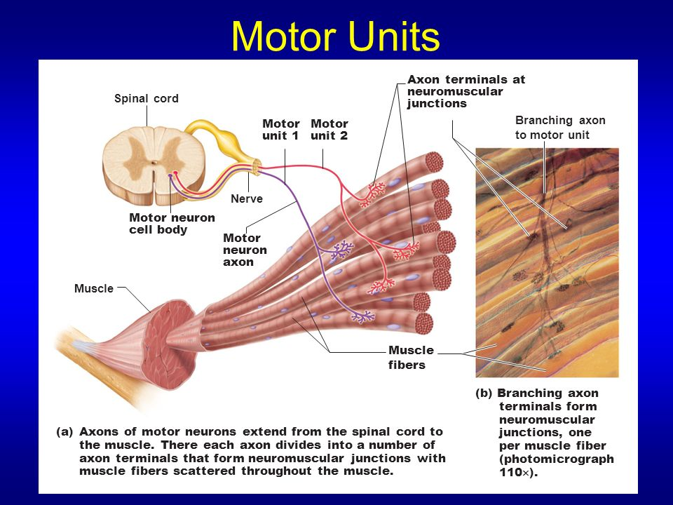 Skeletal Muscle Tissue Sonya Schuh-Huerta, Ph.D. - ppt download