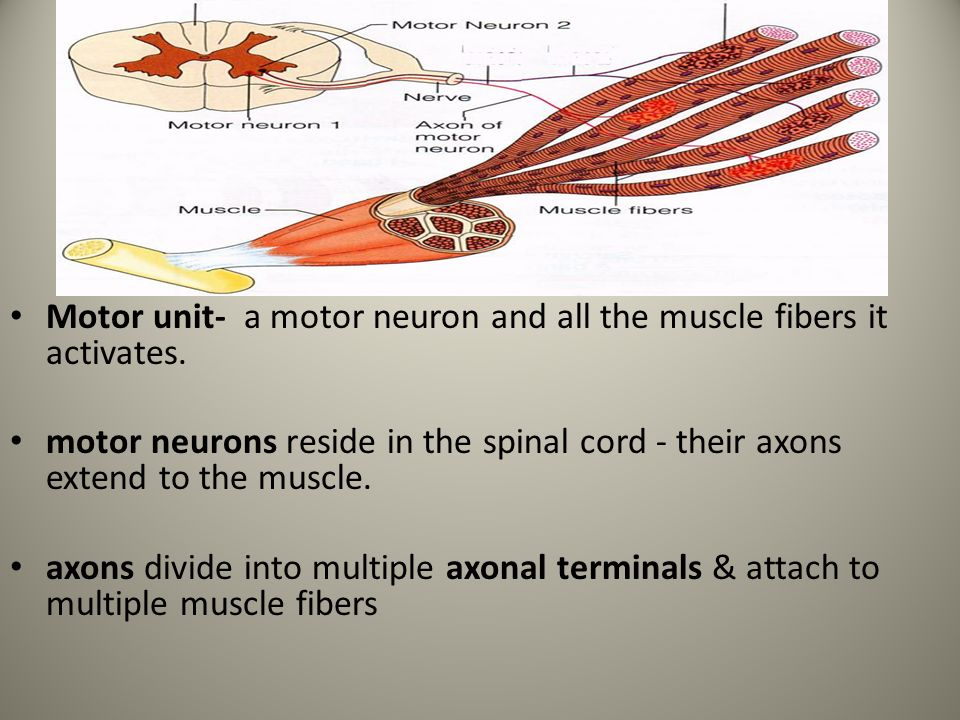 define the terms skeletal muscle fiber motor unit skeltal muscle twitch How motor unit summation develops muscle tension skeletal muscle fibers: muscle twitch, wave summation & muscle tension related study materials.