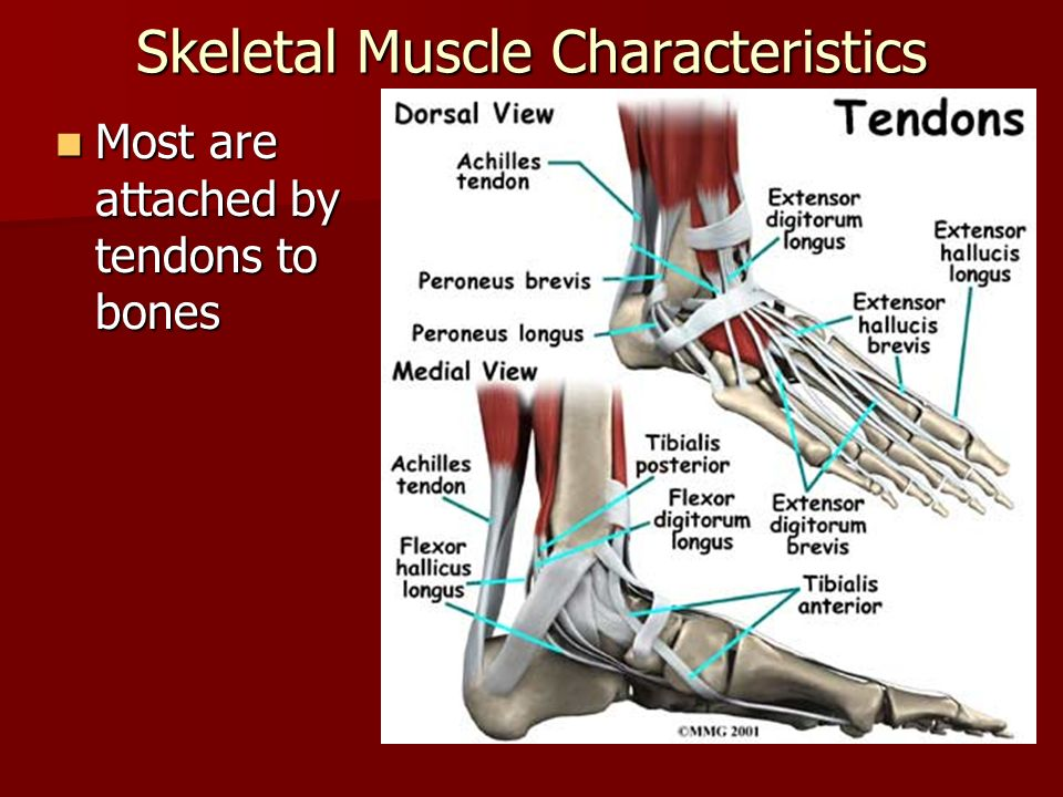 The skeletal attachment of tendons-tendon enthesis
