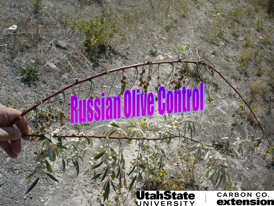 Russian Olive Control