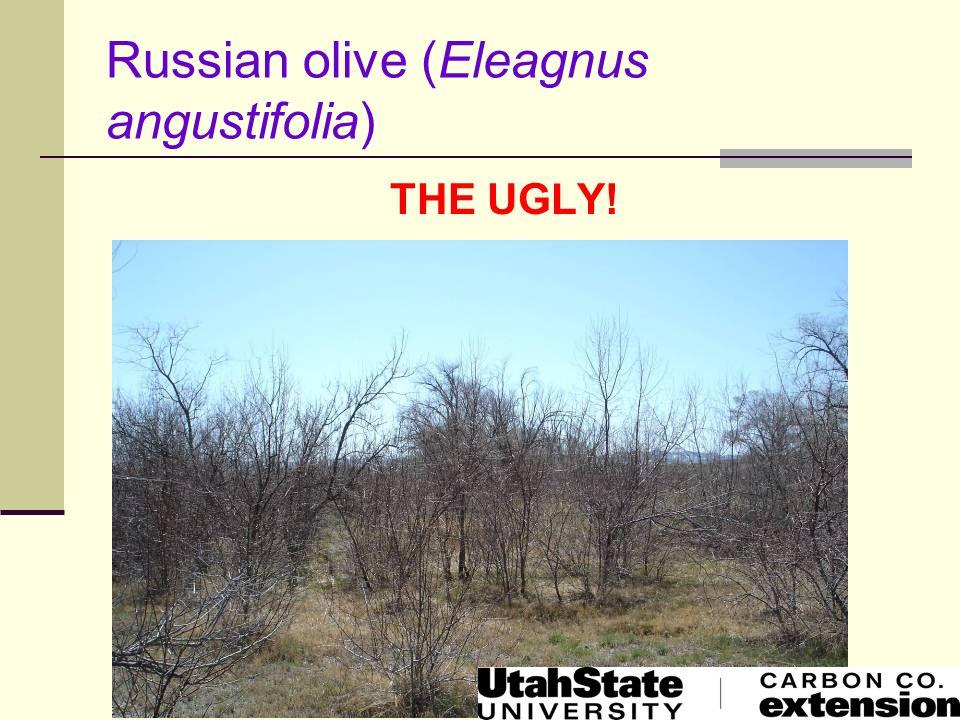 Russian olive (Eleagnus angustifolia)