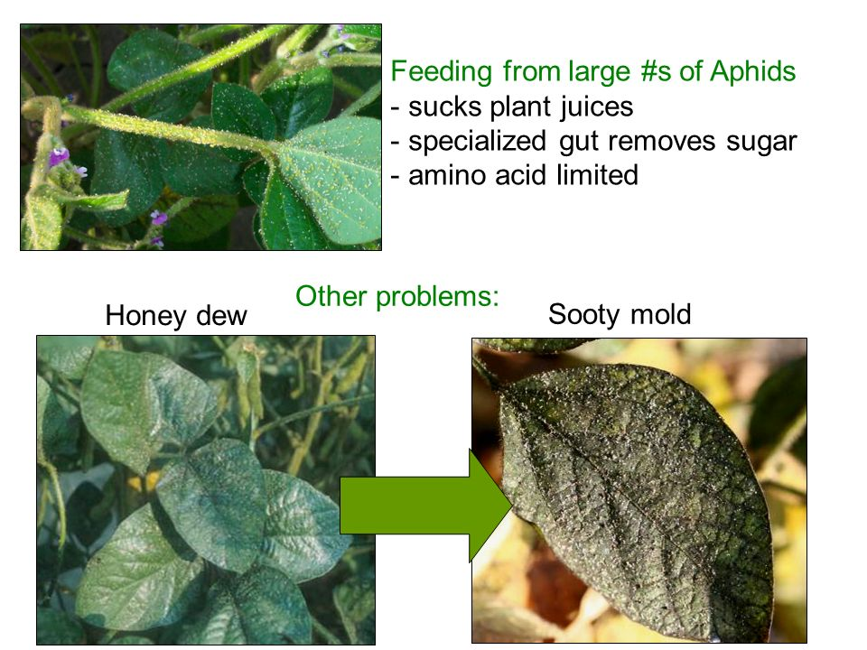 Feeding from large #s of Aphids