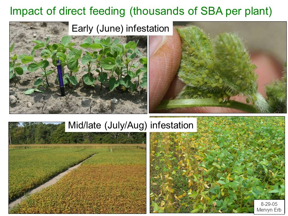 Impact of direct feeding (thousands of SBA per plant)