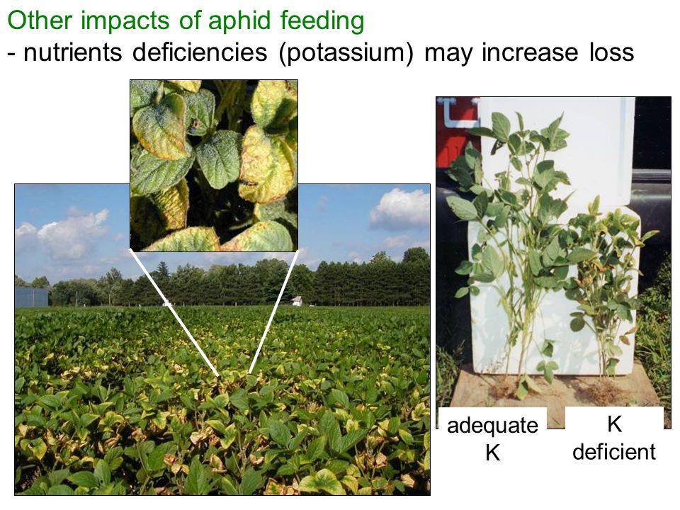 Other impacts of aphid feeding