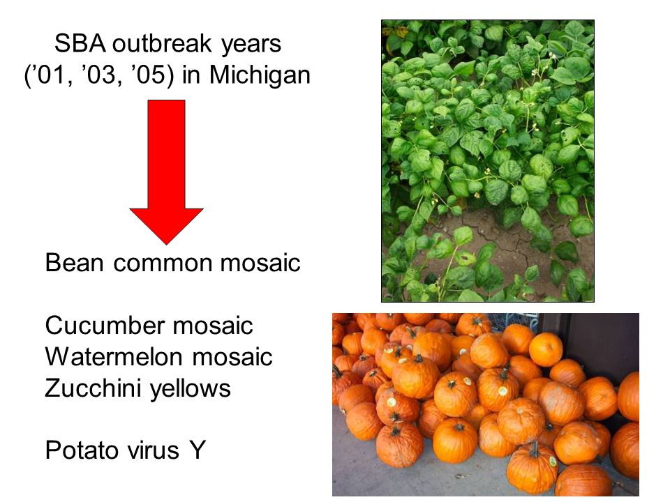 SBA outbreak years ('01, '03, '05) in Michigan. Bean common mosaic. Cucumber mosaic. Watermelon mosaic.