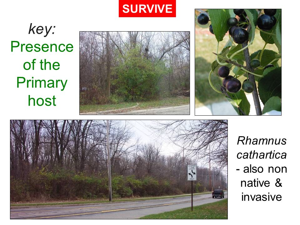 key: Presence of the Primary host SURVIVE Rhamnus cathartica also non