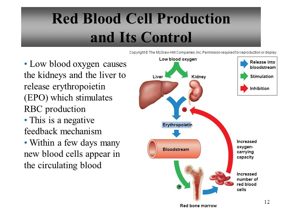 Red Blood Cell Production and Its Control