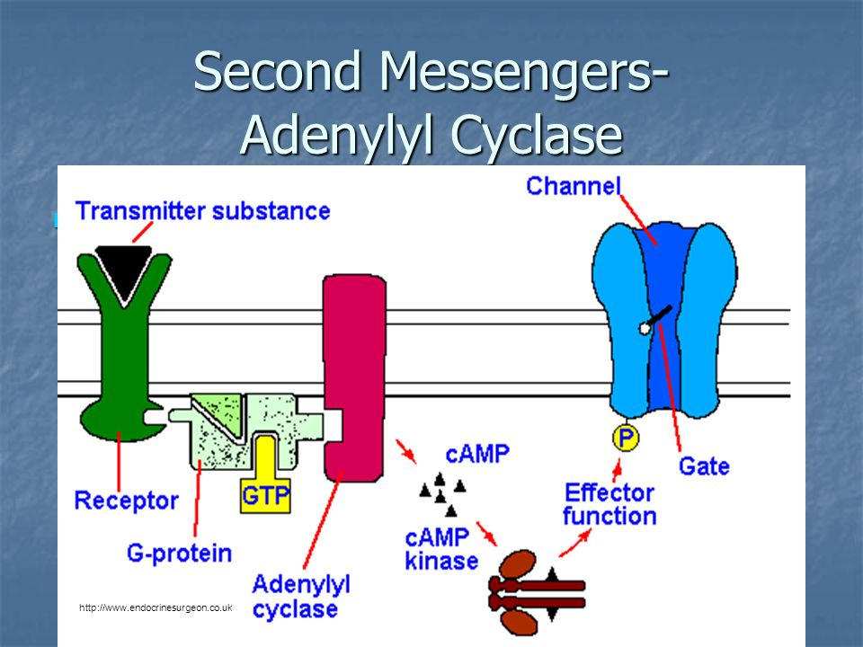 Second Messengers- Adenylyl Cyclase