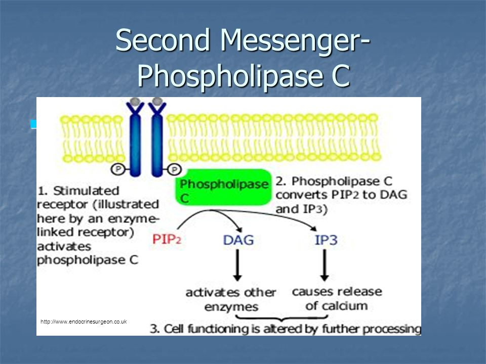 Second Messenger- Phospholipase C