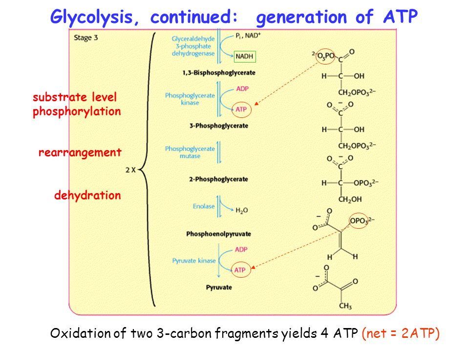 atp synthesis in glycolysis substrate level phosphorylation These are practice questions that may help you ensure that you  atp, and ca ++ are all  a difference between substrate level phosphorylation and oxidative.