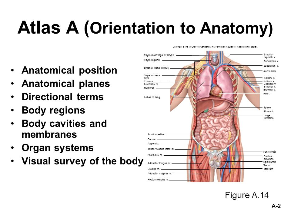 anatomical position of penis