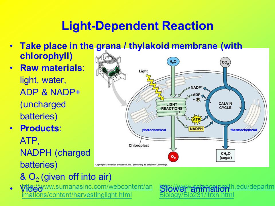 light dependent reactions The light dependent reaction is the first step of photosynthesis which converts light energy into atp the light dependent reaction takes place inside the chloroplasts along the thylakoid membrane.