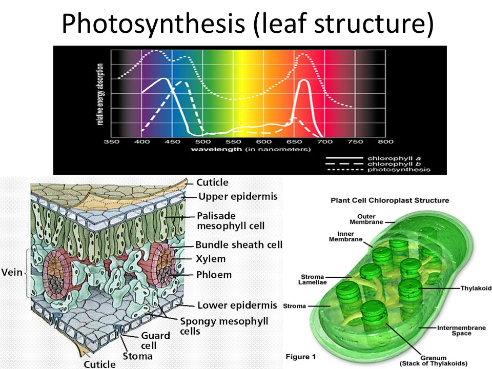 structure of photosynthesis The rates of canopy and individual leaf photosynthesis and 14c distribution for   canopy structure on the utilization of light energy for photosynthesis (sheehy.